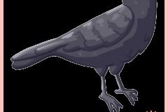 Animal_Crow